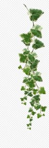 kisspng-common-ivy-vine-muscadine-grape-plant-vines-plants-png-pictures-5ab04361c09a17.9025777115215010257889
